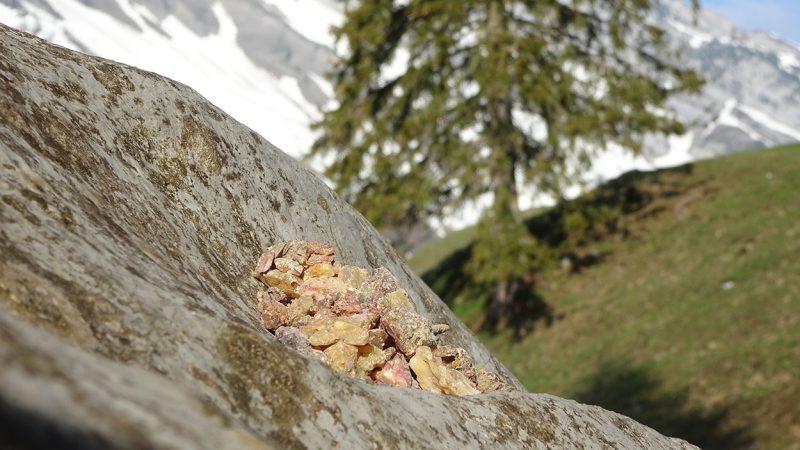 Encens des Alpes - Encens de haute-montagne 02