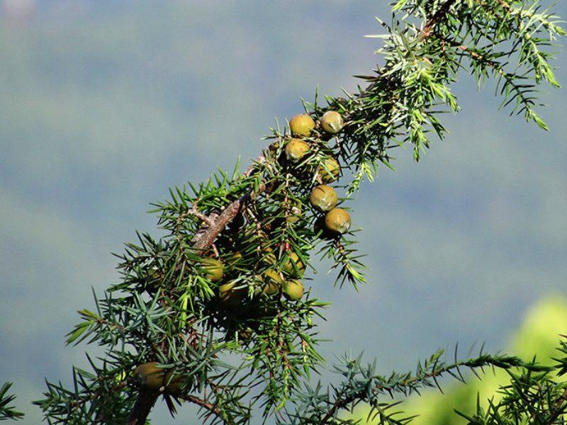 Arbuste cade - Encens des Alpes